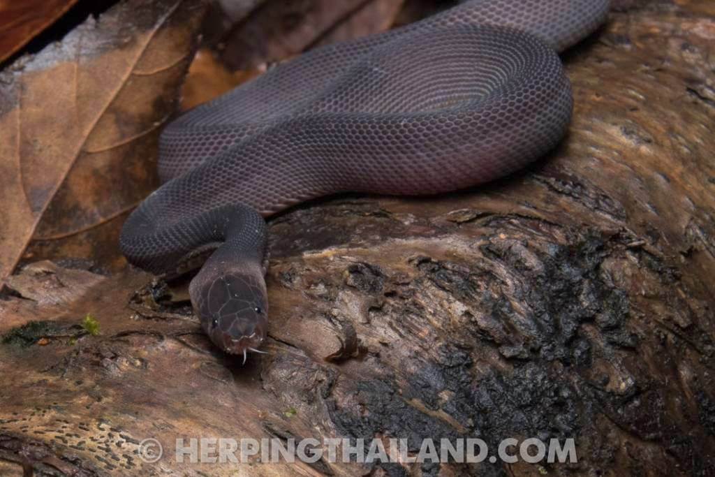 Laotian Bearded Snake Nan Province parafimbrios lao tontan