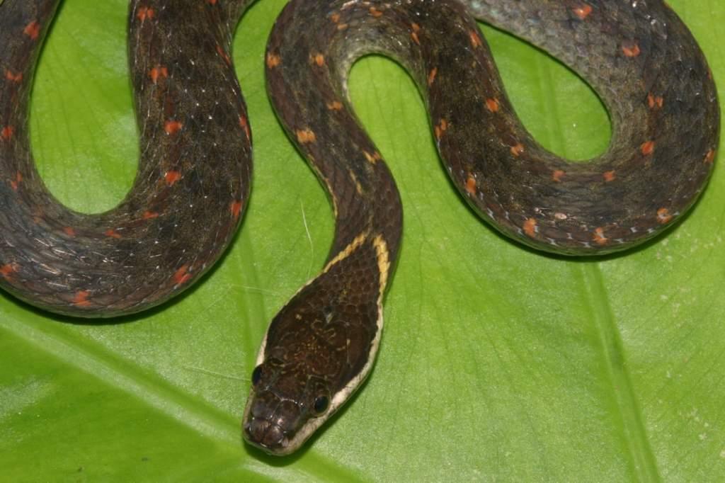White-lipped Keelback Hebius leucomystax Amphiesma งูลายสาบท้องสามขีด