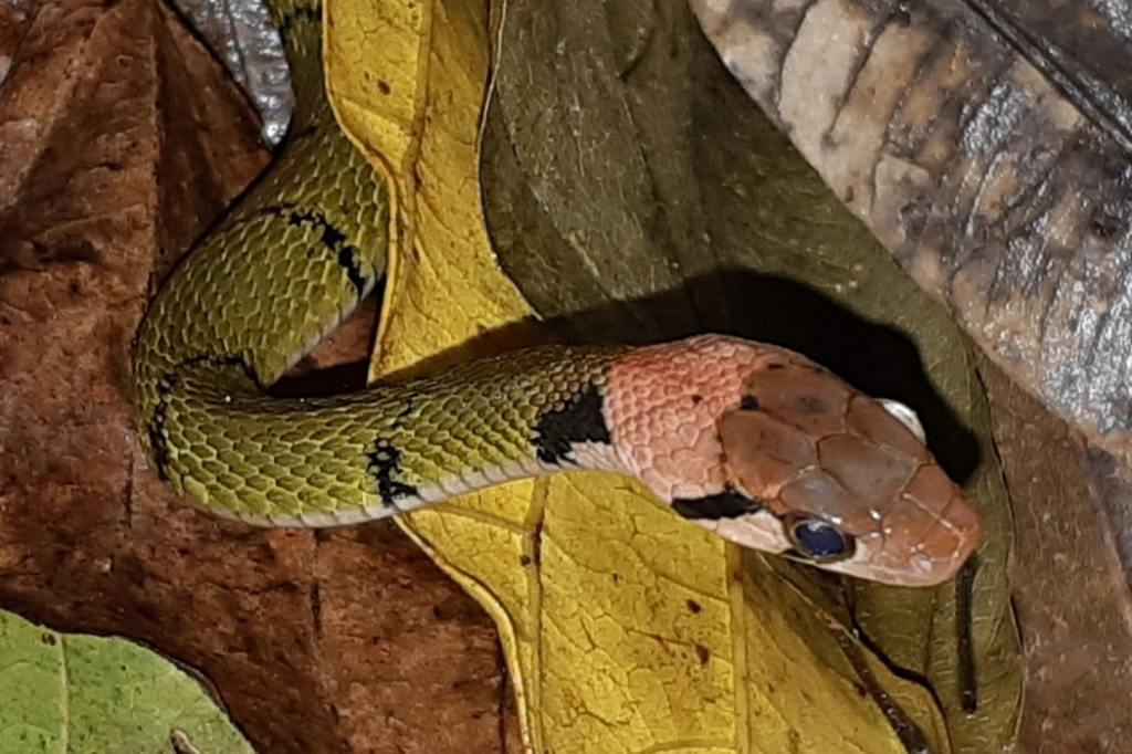 Green Black-banded Keelback Black-striped Rhabdophis nigrocinctus งูลายสาบเขียวขวั้นดำ surat thani thailand