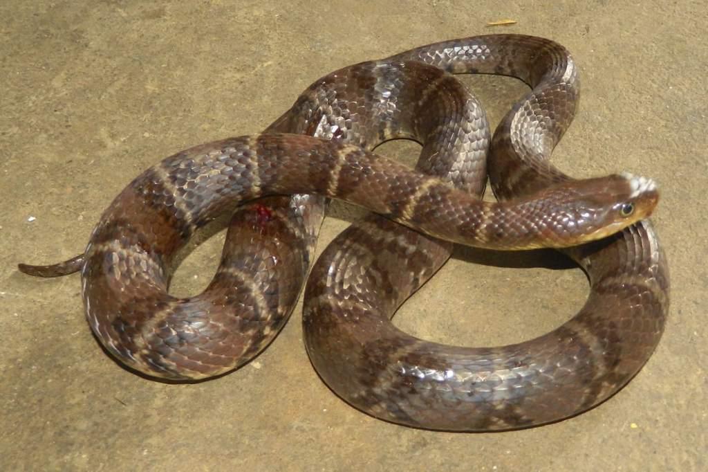 Yunnan Water Snake Keelback Sinonatrix yunnanensis งูลายสอจีนลายวงแหวน vietnam