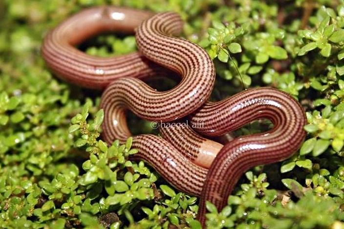 striped blind snake lined blind snake Ramphotyphlops lineatus indonesia