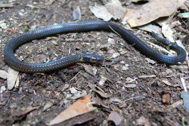 Variable Reed Snake Calamaria lumbricoidea งูพงอ้อหลากลาย thailand