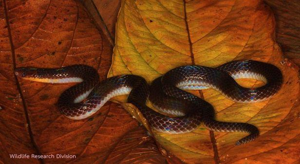 Short-tailed Reed Snake Boie's Dwarf Snake Calamaria virgulata งูพงอ้อหางสั้น thailand