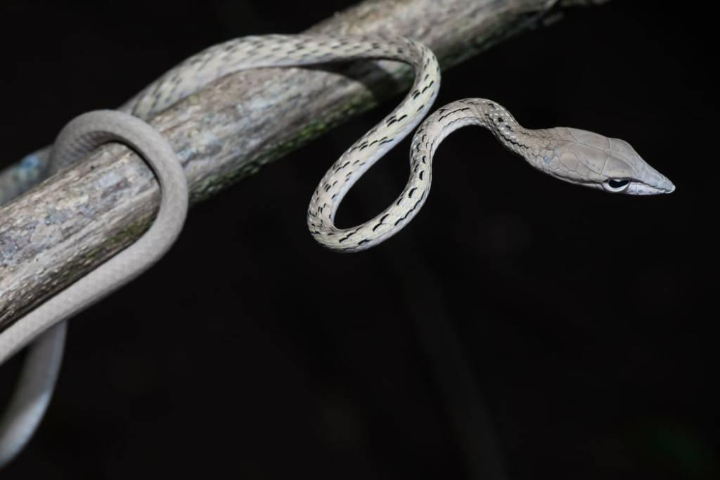 Oriental Whip Snake Asian Vine Snake Ahaetulla prasina งูเขียวหัวจิ้งจก thailand khao yai