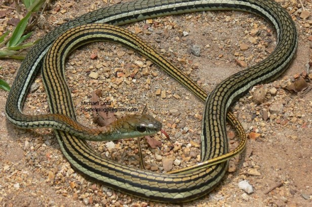 Striped Bronzeback Gray Bronze Tree Snake Dendrelaphis caudolineatus งูสายม่านแดงหลังลาย Thailand songkhla