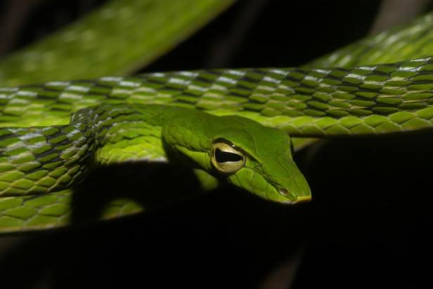 Big-eye Green Whip Snake Malayan Whipsnake Vine Snake Ahaetulla mycterizans malaysia