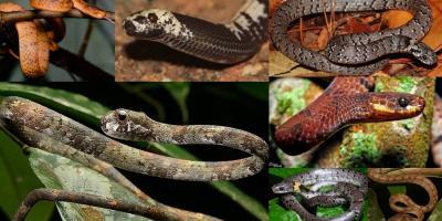 Slug-eating Snakes Pareidae slug snakes snail-eating snakes pareas thailand