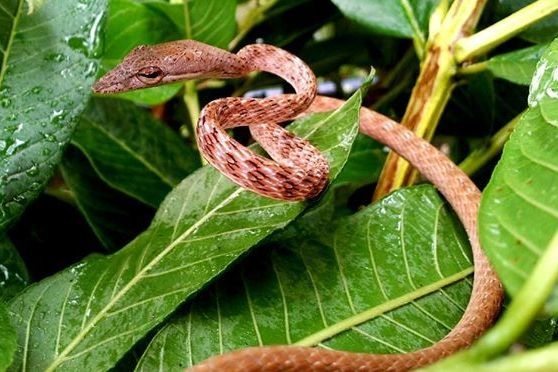 Speckle-headed Whip Snake Spotted Whipsnake Banded Vine Snake Ahaetulla fasciolata malaysia