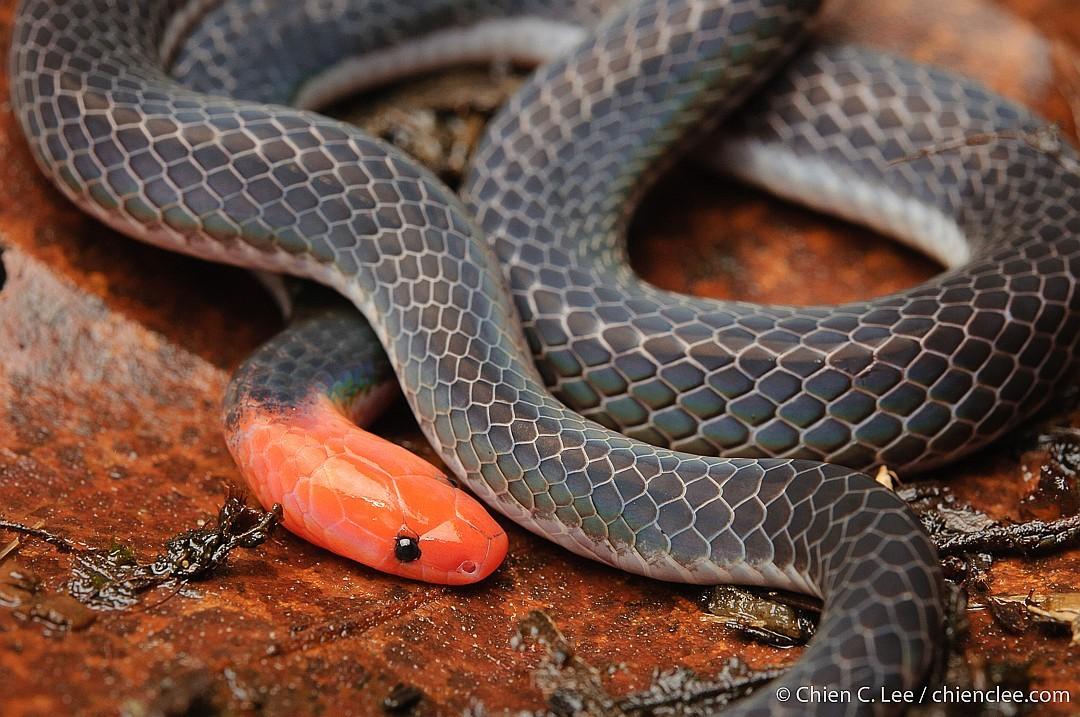 Pink-headed Reed Snake Red-headed White-headed Calamaria schlegli งูพงอ้อหัวแดง
