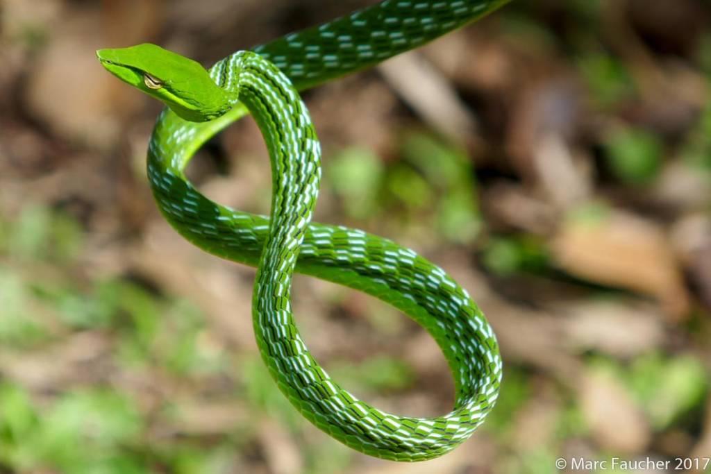 Oriental Whip Snake Asian Vine Snake Ahaetulla prasina งูเขียวหัวจิ้งจก thailand Phetchaburi