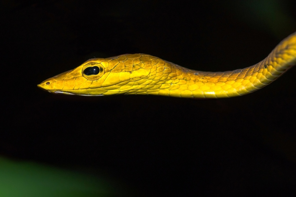 Oriental Whip Snake Asian Vine Snake Ahaetulla prasina งูเขียวหัวจิ้งจก thailand nakhon ratchasima