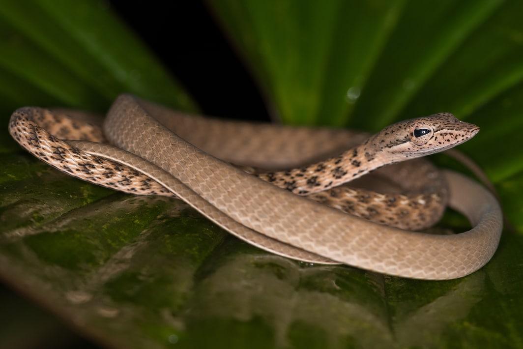 Speckle-headed Whip Snake Spotted Whipsnake Banded Vine Snake Ahaetulla fasciolata indonesia