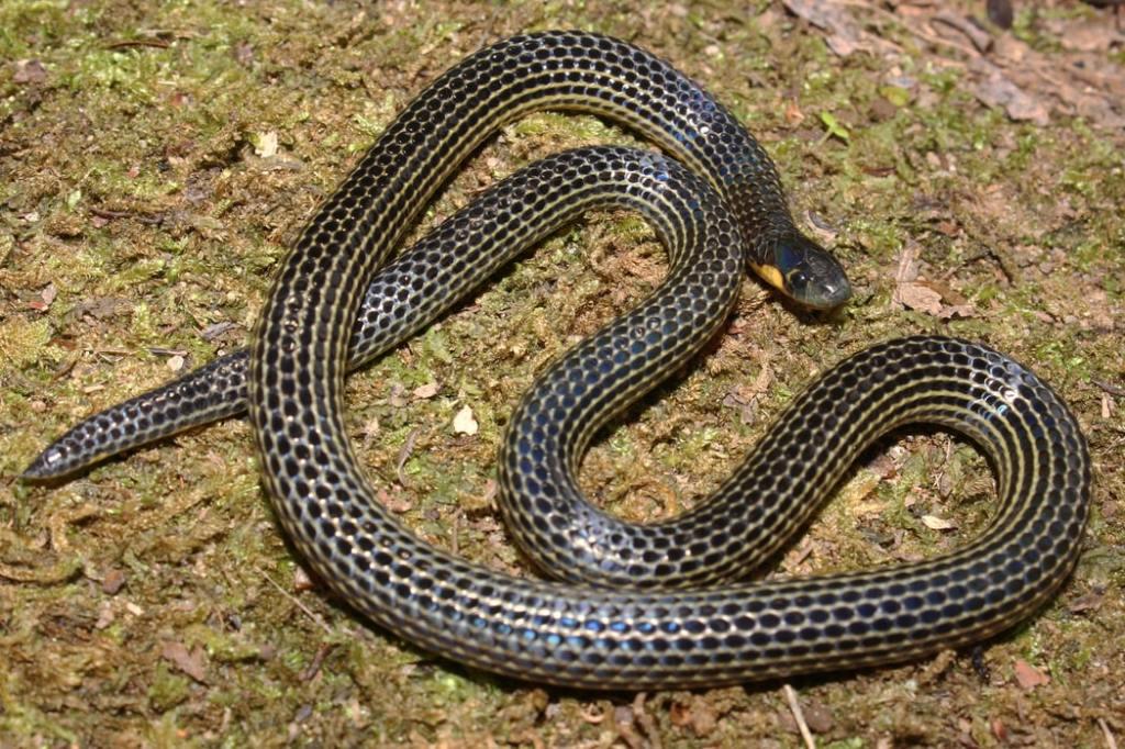 Variable Reed Snake Calamaria lumbricoidea งูพงอ้อหลากลาย malaysia