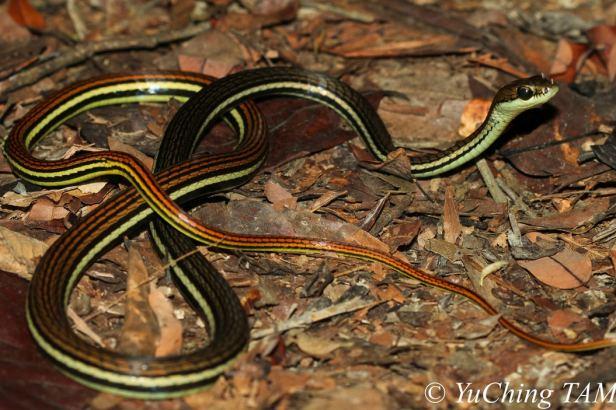 Striped Bronzeback Gray Bronze Tree Snake Dendrelaphis caudolineatus Malaysia