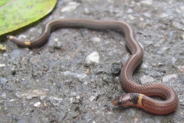 Brown Collared Reed Snake Calamaria pavimentata งูพงอ้อท้องเหลือง Thailand khao yai