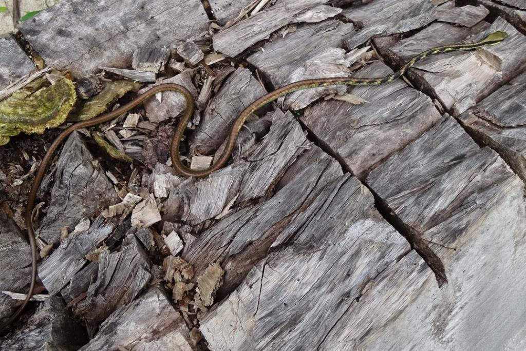 Sawtooth-necked Bronzeback Dendrelaphis nigroserratus งูสายม่านงูสายม่าน คอดอกเลื่อยสีดำ thailand tak
