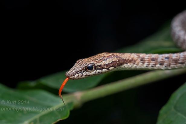Keel-bellied Whip Snake Brown Red Dryophiops rubescens Sumatra