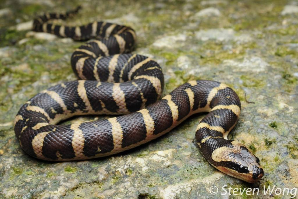 banded swamp snake puff-faced masked water snake malaysia Homalopsis buccata
