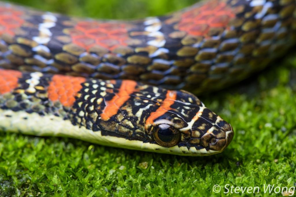 Twin-barred Tree Snake Banded Flying Snake Chrysopelea pelias malaysia