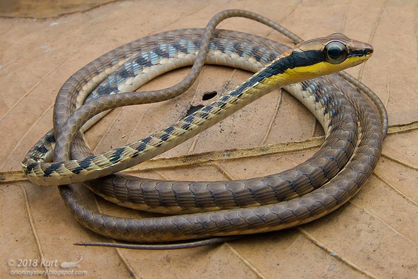 Banded Cohn's Bronzeback Striated Bronzeback Tree Snake Dendrelaphis striatus malaysia