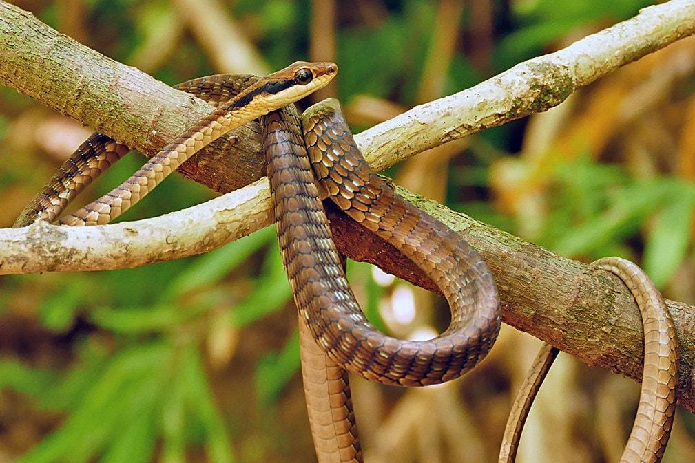 Nganson Bronzeback Vietnamese Dendrelaphis ngansonensis งูสายม่านเวียตนาม thailand khao yai