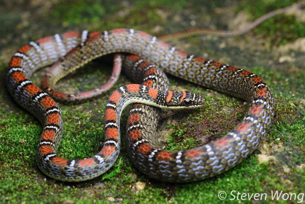 Twin-barred Tree Snake Banded Flying Snake Chrysopelea pelias งูดอกหมากแดง malaysia