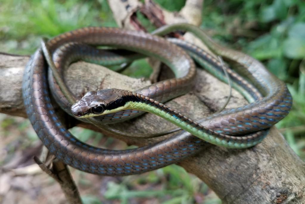 Blue Bronzeback Wall's Bronzeback Dendrelaphis cyanochloris งูสายม่านฟ้าเขียว malaysia