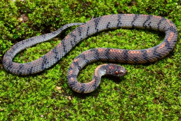 Smooth Slug Snake Asthenodipsas laevis Pareas malaysia