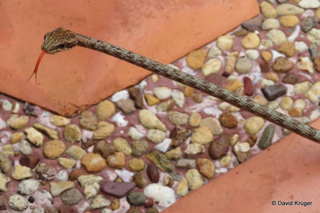 Keel-bellied Whip Snake Brown Red Dryophiops rubescens งูหัวจิ้งจกลายกระ thailand