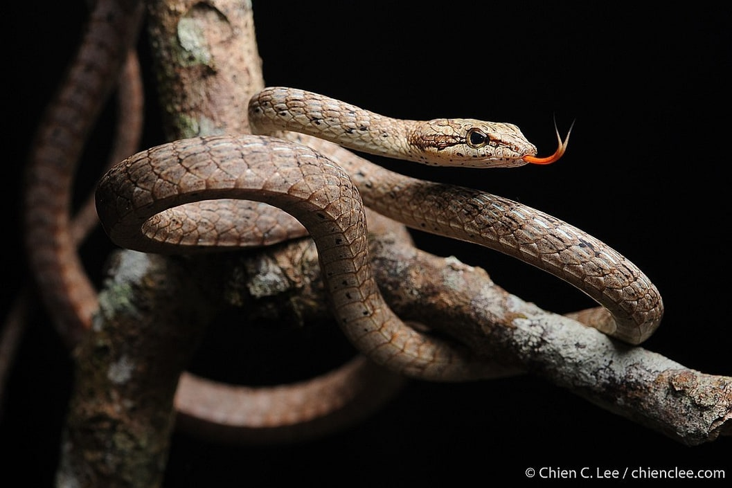 Keel-bellied Whip Snake Brown Red Dryophiops rubescens borneo