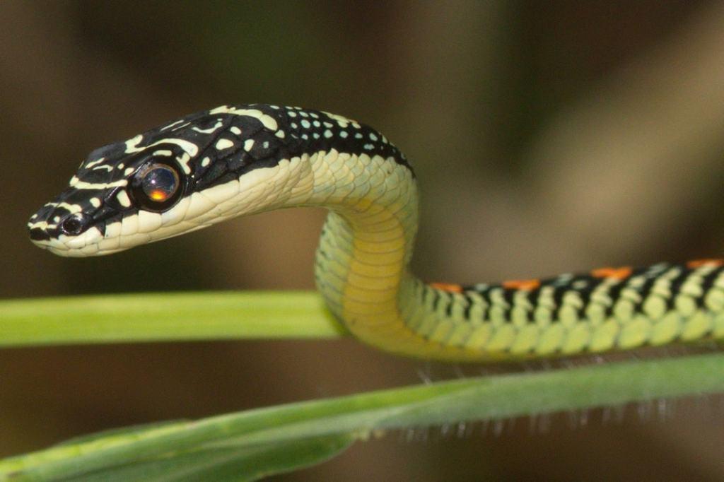 Paradise Tree Snake Flying Snake Chrysopelea paradisi งูเขียวร่อน malaysia