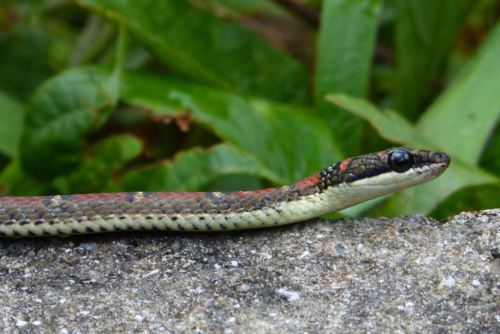 Twin-barred Tree Snake Banded Flying Snake Chrysopelea pelias singapore