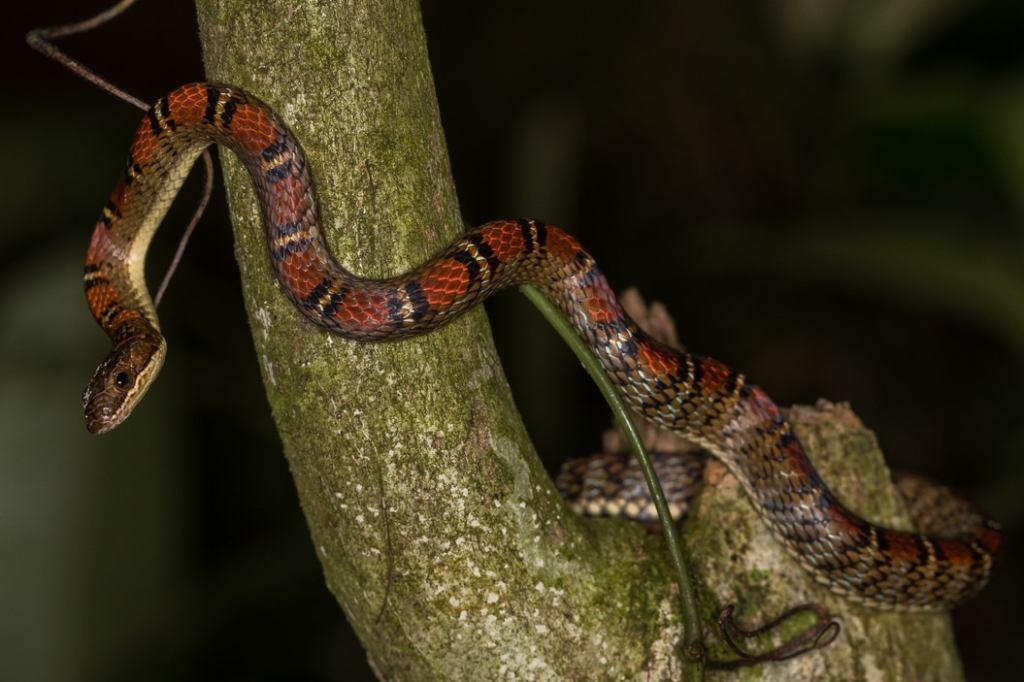 Twin-barred Tree Snake Banded Flying Snake Chrysopelea pelias sumatra