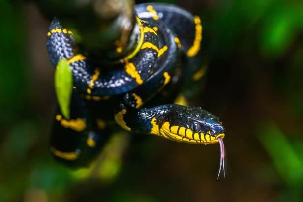 Mangrove Snake Gold-ringed Cat Snake Boiga dendrophila งูปล้องทอง thailand