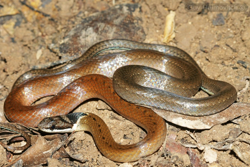 Triangled Black-headed Snake Triangle Many-toothed Collared Sibynophis triangularis งูคอขวั้นหัวลายสามเหลี่ยม thailand