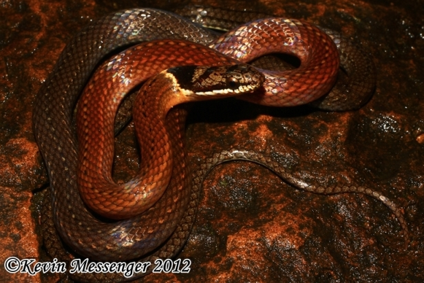 Triangled Black-headed Snake Triangle Many-toothed Collared Sibynophis triangularis thailand