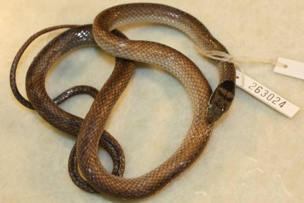 Triangled Black-headed Snake Triangle Many-toothed Collared Sibynophis triangularis cambodia