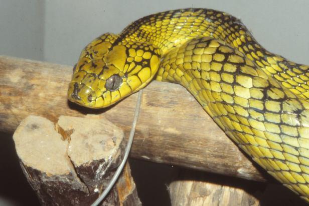 Banded Green Cat Snake Boiga saengsomi งูเขียวดงลาย thailand endemic