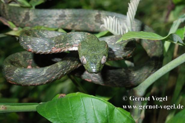 Bengkulu Cat Snake Boiga bengkuluensis sumatra