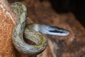 elaphe orthriophis taeniurus helfenbergeri Helfenberger's beauty snake thailand