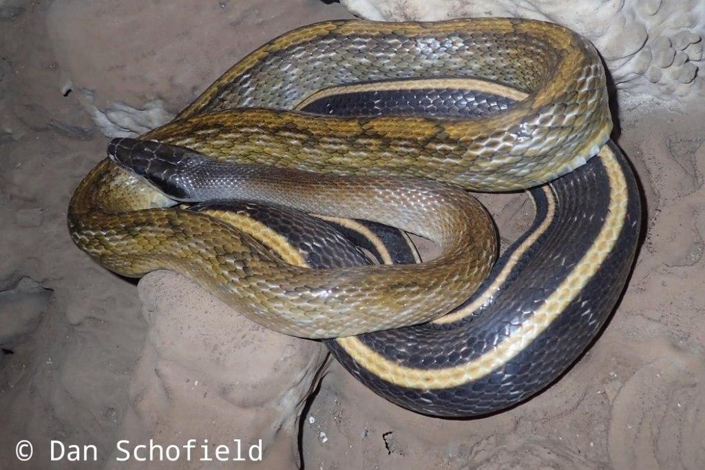 Beauty Rat snake Trinket Elaphe taeniura Mae Hong Son thailand